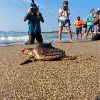 Una tortuga boba marcada se dirige hacia el mar.